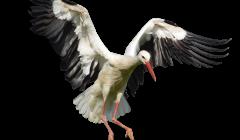 Storch im Anflug auf Nest